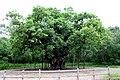 The Major Oak - geograph.org.uk - 1691865.jpg