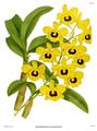 The Orchid Album-01-0041-0013-Dendrobium suavissimum.png