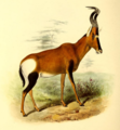 The book of antelopes (1894) Bubalis caama.png
