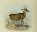The deer of all lands (1898) Peruvian guemal.png