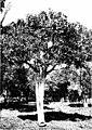 The indigenous trees of the Hawaiian Islands (1913) (20699864116).jpg