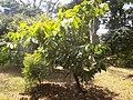 Theobroma cacao Arbre 2.jpg