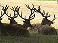 Thicket of stags' antlers, Bushy Park - geograph.org.uk - 1983406.jpg