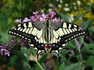 Lepidoptera in the 10th edition of Systema Naturae - The Old World swallowtail was named Papilio machaon, after Machaon.