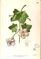 Thunbergia grandiflora Blanco1.229-original.png