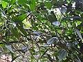 Thunbergia mysorensis var.aurea-3-chemunji-kerala-India.jpg