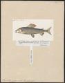 Thymallus vulgaris - 1700-1880 - Print - Iconographia Zoologica - Special Collections University of Amsterdam - UBA01 IZ14800069.tif