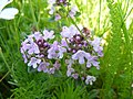 Thymus serpillum.JPG