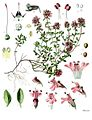 Thymus serpyllum - Köhler–s Medizinal-Pflanzen-138.jpg
