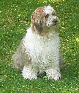 tibetaanse terrier karakter