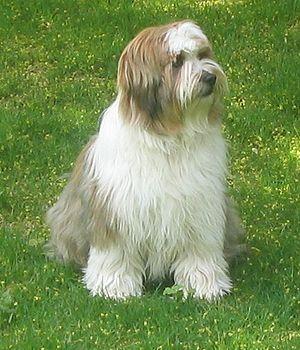 Tibetan Terrier - Image: Tibetan Terrier Image 001