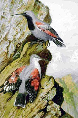 Mauerläufer (Tichodroma muraria)