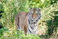 Tiger (15624449275).jpg