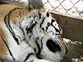 Tiger (230089129).jpg