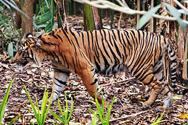 Tiger - melbourne zoo.jpg