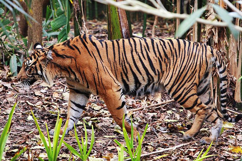 Tiger - melbourne zoo.jpg
