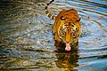 Tiger drinking water1.jpg