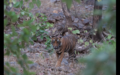 Tiger in Ranthambore 1.png