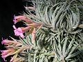 Tillandsia sucrei (TS) 2-04826.jpg