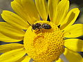 Tiny bee on Yellow Chamomile.jpg