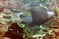 Titan Triggerfish - Ko Tao, Thailand 1092.jpg