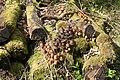 Toadstools in Plungar Wood - geograph.org.uk - 157168.jpg