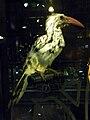 Tockuserythrorhynchus.JPG