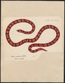 Tortrix scytale - 1700-1880 - Print - Iconographia Zoologica - Special Collections University of Amsterdam - UBA01 IZ11400005.tif