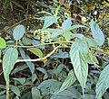 Tournefortia heyneana 10.JPG