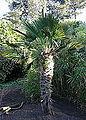 Trachycarpus fortunei (Trachycarpus wagnerianus) - San Francisco Botanical Garden - DSC09975.JPG