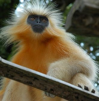 Wildlife of India - One of the world's rarest monkeys, Gee's golden langur typifies the precarious survival of much of India's mega fauna.