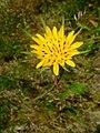 Tragopogon pratensis flos.jpg