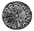 Trans. Linn. Soc. London - Volume 20 - Plate 23 - Figure C.png