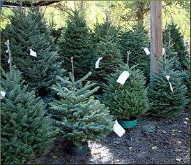 Albero Di Natale Wikipedia.Albero Di Natale Wikipedia