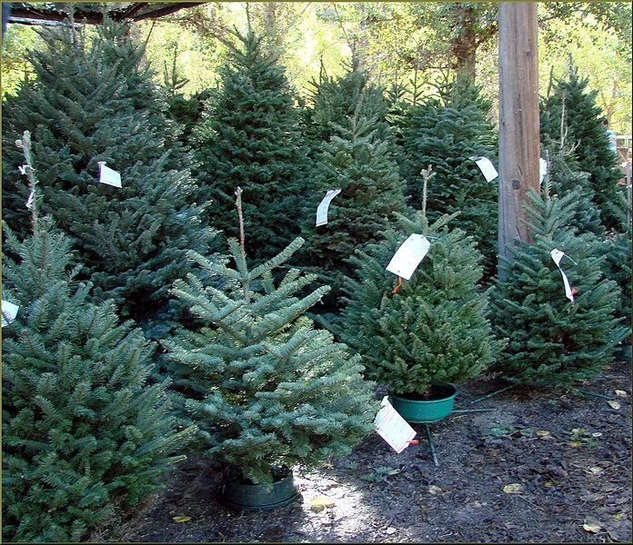 Live Oak Canyon Christmas Tree Farm