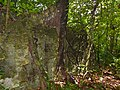 Tree Roots in limestone formations (15657760691).jpg