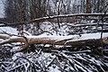Tree felled by beavers in Yuntolovsky Reserve 2020-12-13-2.jpg