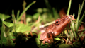 Treefrog in the grass (5857690902).png