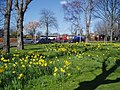 Trees and daffodils, Bedonwell Road, Bexley, Kent - geograph.org.uk - 147154.jpg