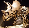 Skeletal mount of Triceratops