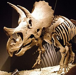 Triceratops front.jpg