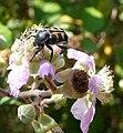 Trichius gallicus - Flickr - gailhampshire.jpg