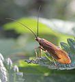 Trichoptera indet. - Köcherfliege - Caddisfly (9673046466).jpg