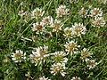 Trifolium repens à Grez-Doiceau 001.jpg