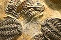 Trilobite Selenopeltis buchii.jpg