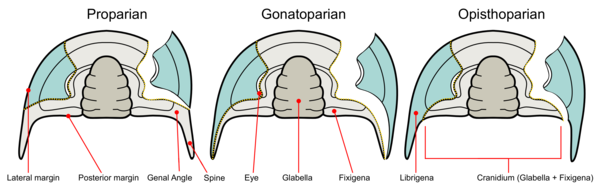 Trilobite facial suture types.png