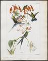 Trochilus popelairii - 1820-1860 - Print - Iconographia Zoologica - Special Collections University of Amsterdam - UBA01 IZ19100425.tif