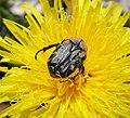 Tropinota hirta Scarabaeidae (44037551565).jpg