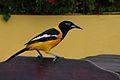 Trupial bird, Curacao.jpg