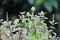 Tulasi Leaf.jpg